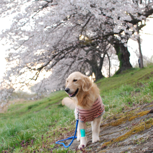 桜の下で.jpg