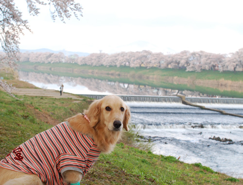 河原の桜.jpg