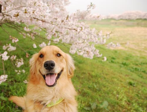ハッピーと桜.jpg